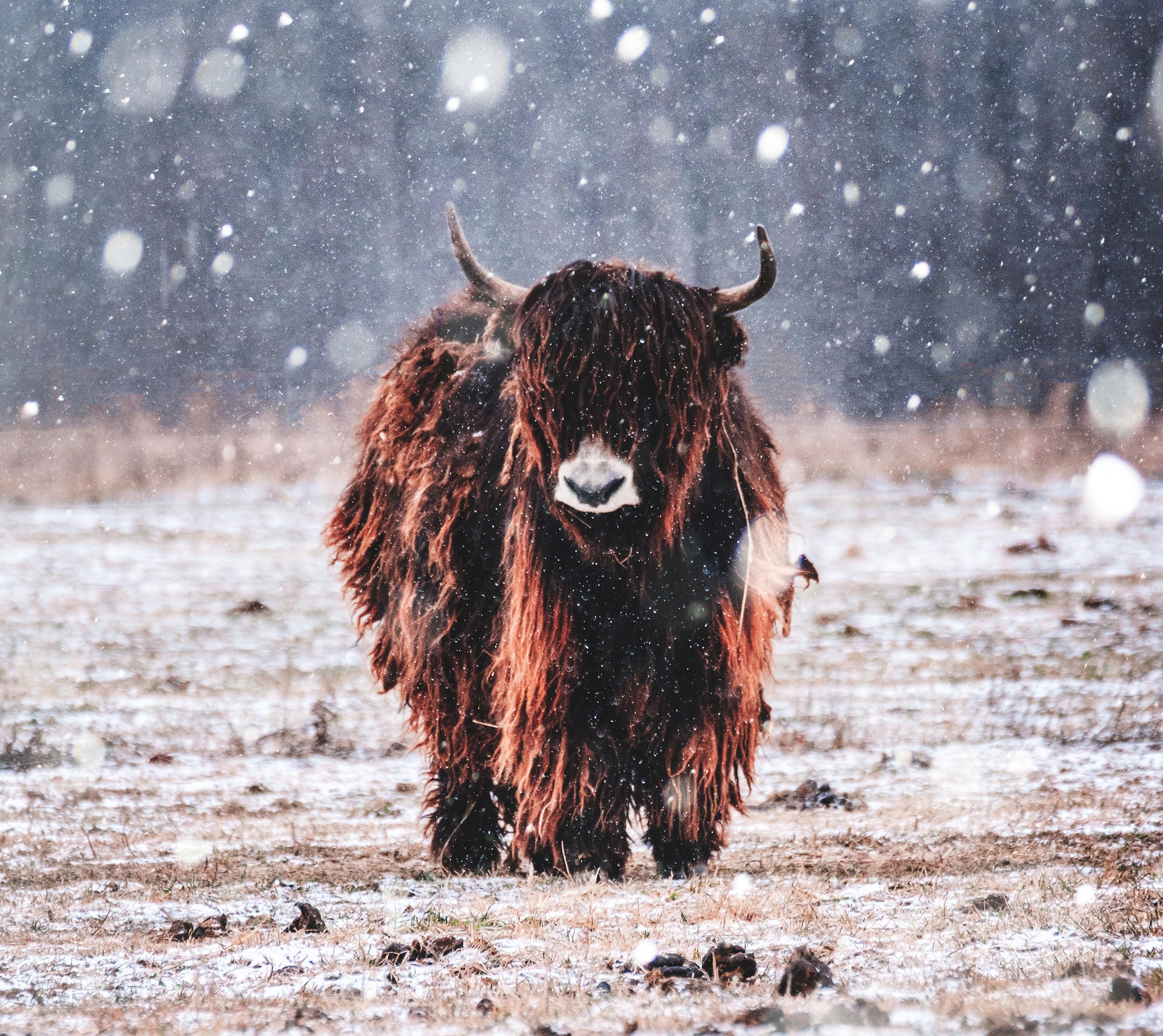 La laine de yak, une laine rare et noble.