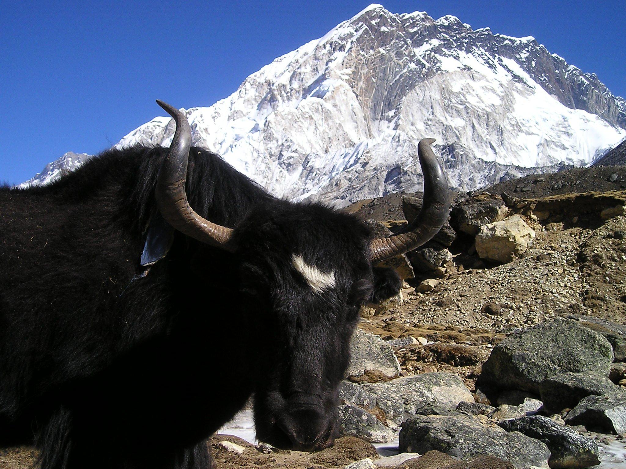 La laine de yak, une laine chaude et douce